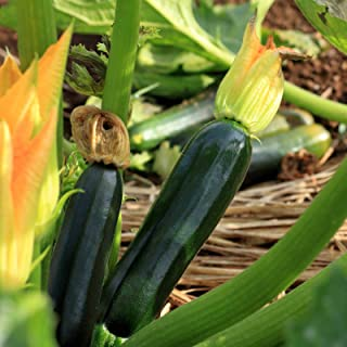 Black Beauty Zucchini Seeds ? Organic Heirloom Zucchini Seeds (25+ Zucchini Seeds) ? by PowerGrow Systems
