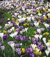 Large Flowering Crocus Mix - 20 Bulbs - Best Seller - 8/9 cm Bulbs