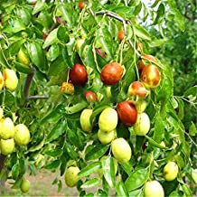 hot Sale 20pcs/lot Big Japanese jujube Plants Honey Sweet Fruit Seeds DIY Plant Tree Seeds semillas for Home Garden: Multi-Colored