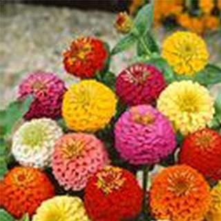 Zinnia Flower Garden Seeds - Lilliput Mix - 1 Oz - Annual Flower Gardening Seed