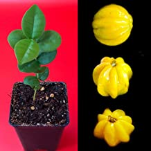 LovelyGarden Pitangatuba Star Cherry Eugenia Selloi neonitida Fruit Tree Seedling Plant