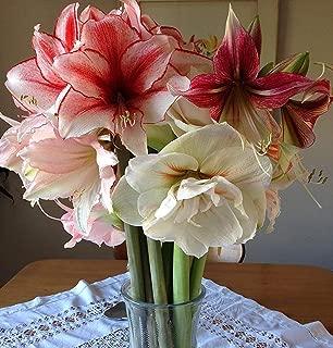 Best premium amaryllis bulbs Reviews