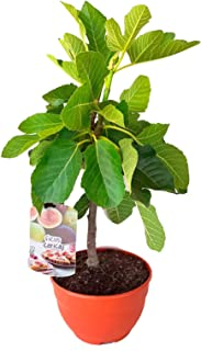 Amazon.es: arboles frutales enanos: Jardín