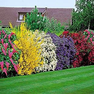 Flowering Shrubs Hedge - 5 hedge plants:Greatestmixtapes