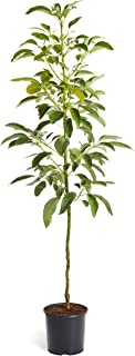Brighter Blooms - HASS Avocado Tree - Indoor/Outdoor Potted Fruit Tree, 4-5 Feet - No Shipping to AZ