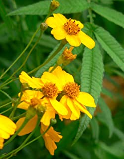 Lumos80 (50) Mexican Mint Marigold Herb Seeds - Tagetes Lucida - Combined S&H