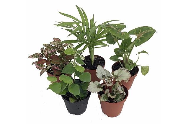 Best Fairy Plants For Terrariums Amazon Com