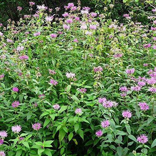 nepenthes graines de plantes, graines Nepenthes graines de plantes carnivores, 100 particules / sac