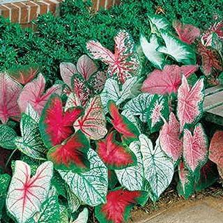 Amazoncom Hostas Flowers Plants Seeds Bulbs Patio Lawn