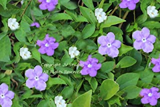 Brunfelsia pauciflora Floribunda Yesterday Today Tomorrow Seeds Standard Plant 5 Seeds with Tracking