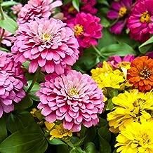 Zinnia Seeds - Dahlia Flower Mix - Attracts Butterflies Open Pollinated