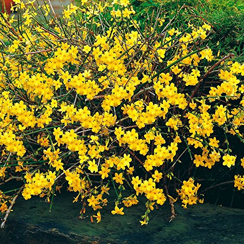 Shop Meeko Jasminum nudiflorum Inverno Jasmine - 1 arbusto