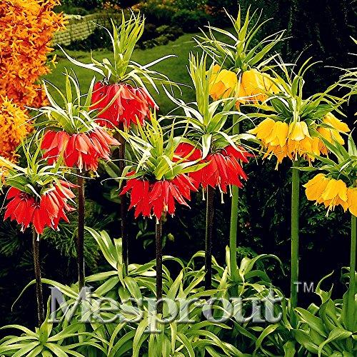 Lot de 100 graines jaunes de couronne impériale Fritillaria Imperialis Lutea Graines faciles à cultiver pour la maison