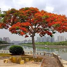 Chicoco Seed,Decorate Your Garden - 10 Pcs Delonix Regia Seeds Outdoor Bonsai Flamboyant Flame Tree Garden Plant