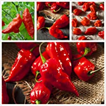Greek Hot Long Horn Pepper /'/'Kafteri/'/' ~15 Top Quality Seeds Special for Grill