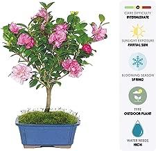 Brussel's Live Camellia Hot Flash Outdoor Bonsai Tree - 10