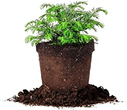 Perfect Plants Cephalotaxus Spreading Yew Live Plant, 3 Gallon, Includes Care Guide