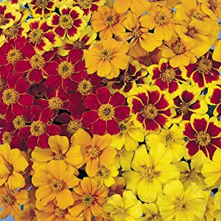 marigold disco mix