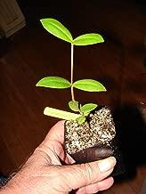 Pitangatuba Fruit Tree Eugenia Selloi Neonita Star Cherry Live Small Pot'd Plant
