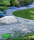 BALDUR-Garten Winterharter Bodendecker Isotoma 'Blue Foot' Blauer Bubikopf Gaudich Rasen-Ersatz, 9...