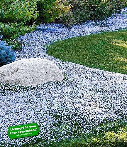 BALDUR-Garten Winterharter Bodendecker Isotoma 'Blue Foot®' Blauer Bubikopf Gaudich Rasen-Ersatz, 9 Pflanzen Isotoma fluviatilis trittfest