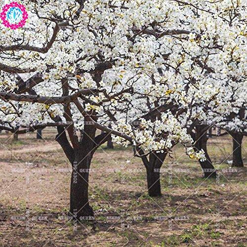 11.11 grande promotion! 30 pcs/lot de graines de poirier graines de fruits fleur de poire en pot dans le jardin et la maison aweet plante vivace d'herbes biologiques
