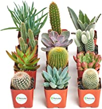 Shop Succulents   Cactus & Succulent Collection of Live Plants, Hand Selected Variety Pack of Cacti and Mini Succulents   Collection of 12