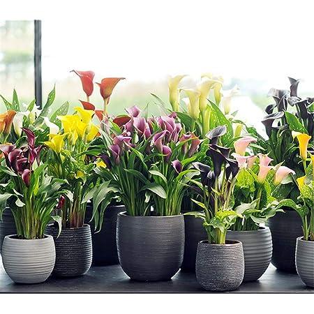 Color Mixing 100 PCS Calla Lily Flowers Seeds Zantedeschia Aethiopica Plants Bonsai Garden