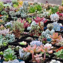 Seeds Package: 5 Pack (500Pcs) : 100/500X Mixed Succulent Seeds Seeds Seed Rare Lig Stones Home Seeds