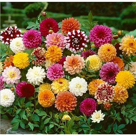 Dahlia Variabilis Flower Seeds Funny boys annuals from Ukraine 100 seeds