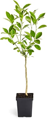 Calamondin Orange Tree - Indoor/Outdoor Patio Citrus Trees, Ready to Give Fruit - 1-2 feet tall - Cannot Ship to FL, CA, TX,