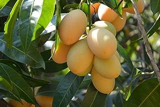 HOT !! - Best Original Bouea macrophylla PLANGO 5 Seeds