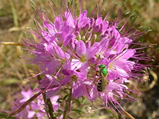 Cleome serrulata Pursh Rocky Mountain Beeplant Waa  20_Seeds