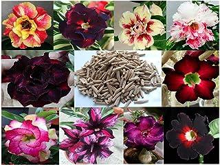 10 Sementes de Rosas do Deserto triplas, duplas e simples (Adenium obesum) Sortidas Kit nº 1 - Frete Grátis