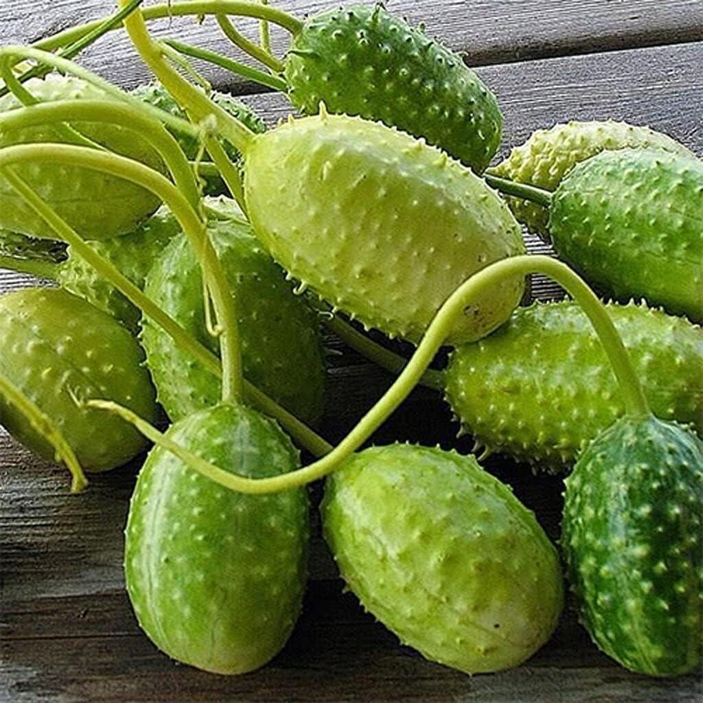 Cucumber - West Special sale item Indian Gherkin S.ẸẸDS Superlatite P.lá Lb 1 for