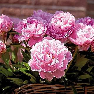 Best peony rose bulbs Reviews