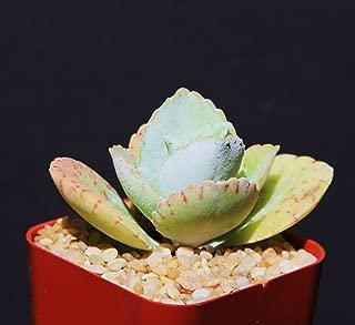 Kalanchoe gastonis bonnieri, Donkey ear plants rare succulent plant cacti 2