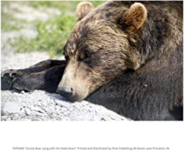 Grizzly Bear Lying with His Head Down Art Print, 20 x 16 inches