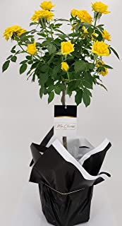 Ma Cherie Roses Exclusive Release, Dwarf Mini Floral Tree Rose, 10'' inches Tall, Indoor/Outdoor Roses, Half Gallon, Live Plants (Yellow)