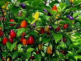 5 color pepper plant