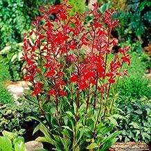 Best lobelia cardinalis for sale Reviews