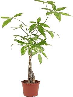 1 Seed Pachira aquatica Money Tree Beautiful Bonsai Potted Plants in Home Garden