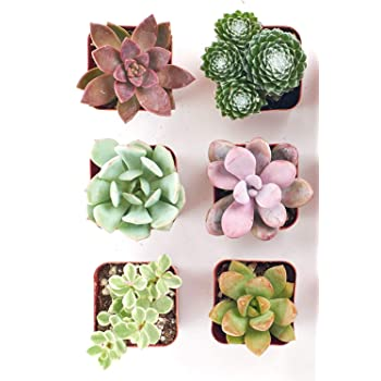 Shop Succulents | Soft Hue Collection Assortment of Hand Selected, Fully Rooted Live Indoor Pastel Tone Succulent Plants, 6-Pack