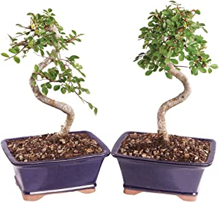 Brussel's Live Chinese Elm Outdoor Bonsai Tree (2 Pack) - 5 Years Old; 6
