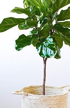 Fiddle Leaf Fig Live Tree - Ficus Lyrata - Beautiful Florist Quality Indoor Houseplant