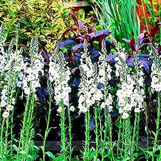 Solution Seeds Farm Veronica Spicata 'Noah Williams' White Spiked Speedwell Garden Flower Perennial Flower Seeds, Professional Pack, 50 Seeds / Pack
