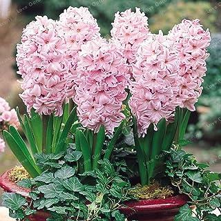 Las nuevas 50 PC real jacinto verde de los bonsais s (No bulbos del jacinto) fácil de cultivar Bonsai Balcón flor Bonsai Para el hogar jardín de la luz de color rosa (sólo semillas)