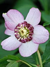 Perennial Farm Marketplace Helleborus x W.J. 'Cherry Blossom' (Lenten Rose) Perennial, 1 Quart, Red Flowers