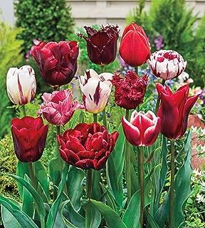 Variatie Red Spring Flowering Tulip Bulb Mixture - Ravishing red Blooms—That Will Adorn Your Garden All Season Long - 15 Bulbs Measuring 11 to 12 cm per Order