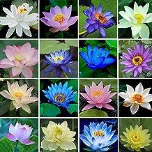 ZEROYOYO Hydroponic Bowl Lotus Flower Seeds 40 Pcs Seeds Grains Indoor Many Varieties Of Small Lotus Seed Lotus Aquatic Flowers Random Color